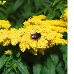 Wallbarn bumble bees